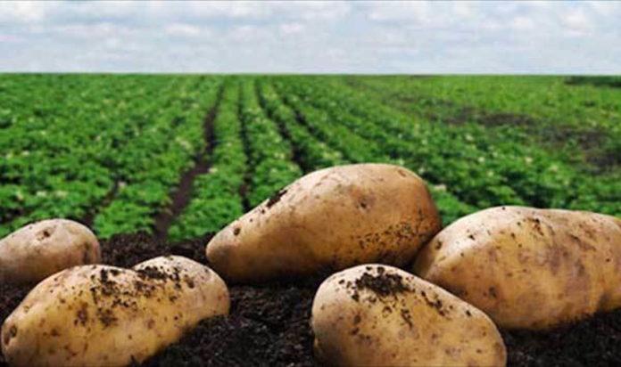 Η Μελίνα Κριτσωτάκη μας παρουσιάζει την πατάτα. Μια δύσκολη καλλιέργεια αλλά με μέλλον καθώς πρόκειται για το πιο, ίσως, αγαπητό τρόφιμο με μεγάλη κατά κεφαλήν κατανάλωση. new deal